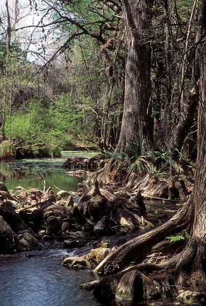 Cypress knees wetland, an image in Texas Aquatic Science by author Rudolph Rosen