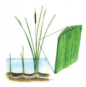 Cattail leave cutaway, an image in Texas Aquatic Science by author Rudolph Rosen