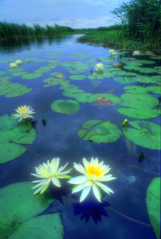 Lily pad leaves, an image in Texas Aquatic Science by author Rudolph Rosen