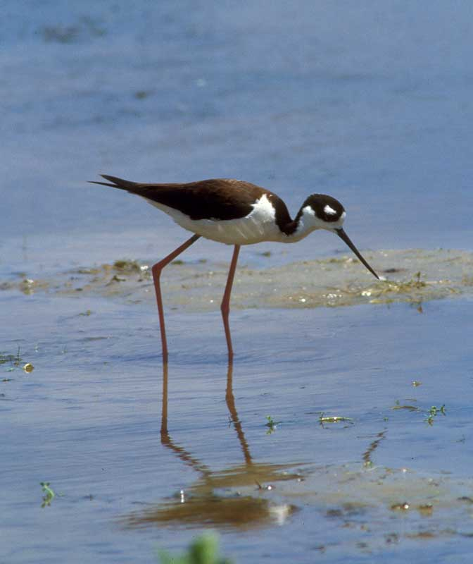 black-necked stilt coastal wetlands mudflat, an image in Texas Aquatic Science by author Rudolph Rosen