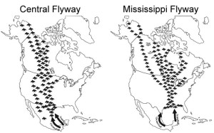 Migratory bird flyways, an image in Texas Aquatic Science by author Rudolph Rosen