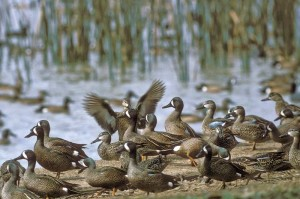 Blue-winged teal in Texas wetland, an image in Texas Aquatic Science by author Rudolph Rosen