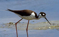 black-necked stilt, an image in Texas Aquatic Science by author Rudolph Rosen