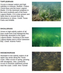 Seagrass, an image in Texas Aquatic Science by author Rudolph Rosen