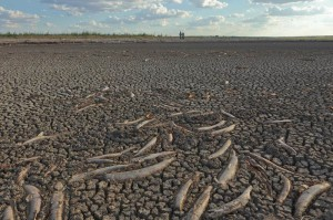 Fish kill in dry lake due to drought, an image in Texas Aquatic Science by author Rudolph Rosen