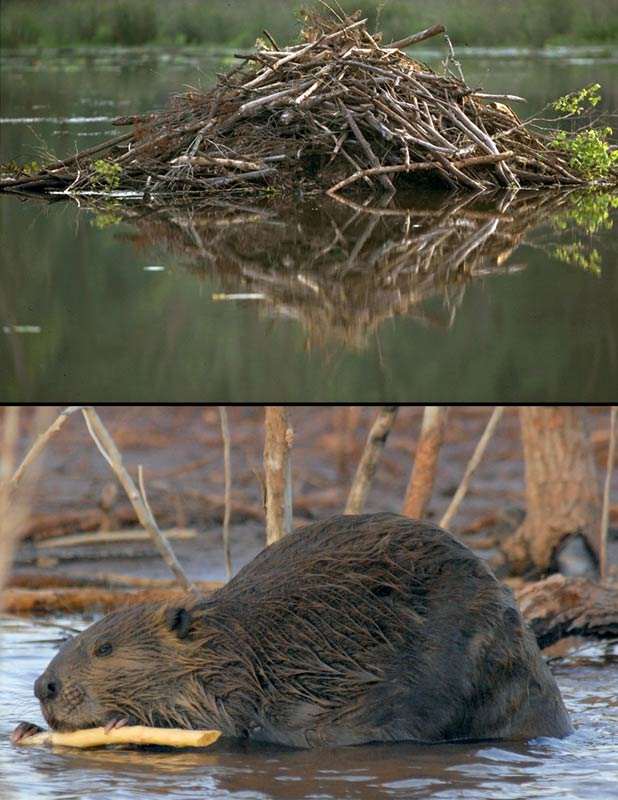 Beaver and lodge, an image in Texas Aquatic Science by author Rudolph Rosen