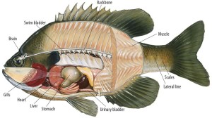 Fish anatomy, an image in Texas Aquatic Science by author Rudolph Rosen
