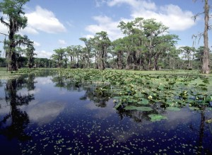 Duckweed and water lilys in a wetland, an image in Texas Aquatic Science by author Rudolph Rosen