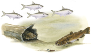 Fish species, an image in Texas Aquatic Science by author Rudolph Rosen