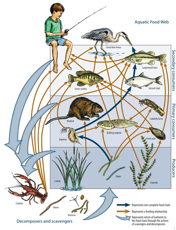 Food web in aquatic system, an image in Texas Aquatic Science by author Rudolph Rosen
