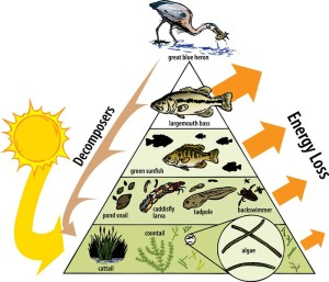 Aquatic system energy pyramid, an image in Texas Aquatic Science by author Rudolph Rosen