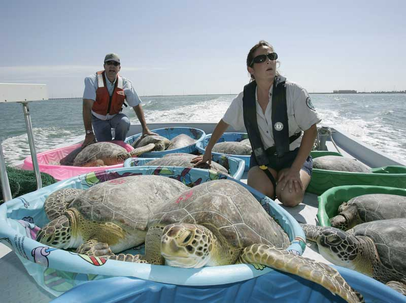 Environmental protection worker rescuing sea turtles, an image from Working and Careers in Water and Aquatic Science from the book Texas Aquatic Science by author Rudolph Rosen. Photo credit: Texas Parks and Wildlife Department.