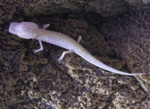 Texas blind salamander, an image in Texas Aquatic Science by author Rudolph Rosen