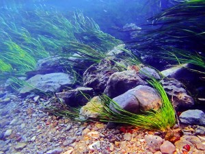 Wild rice, an endangered species, found in the San Marcos River, Texas. an image in Texas Aquatic Science by author Rudolph Rosen