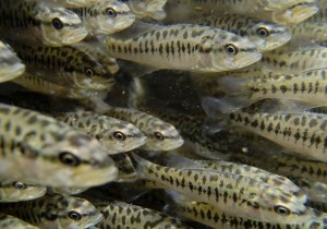 Bass fingerlings, an image in Texas Aquatic Science by author Rudolph Rosen