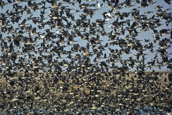 Waterfowl migration, an image of migratory birds part of the great winged migrations of wildlife along the Texas coast, an illustration in the book Aquatic Science by author Rudolph Rosen. Photo credit: Texas Parks and Wildlife