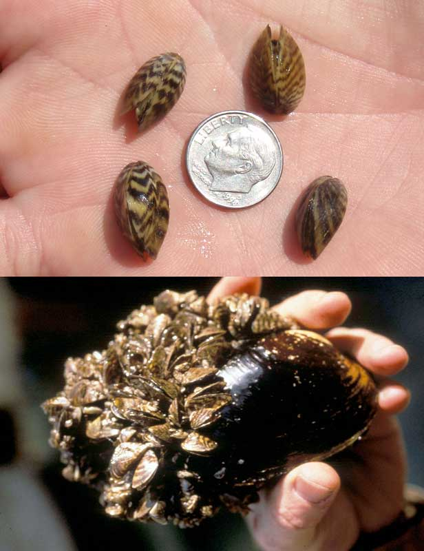 Zebra mussels invade Texas, an image in Texas Aquatic Science by author Rudolph Rosen