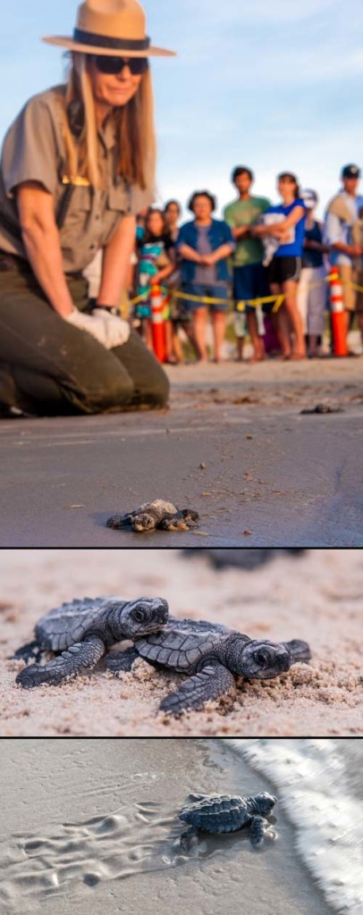 Kemp's ridley sea turtle release on Padre Island National Seashore, an image in Texas Aquatic Science by author Rudolph Rosen