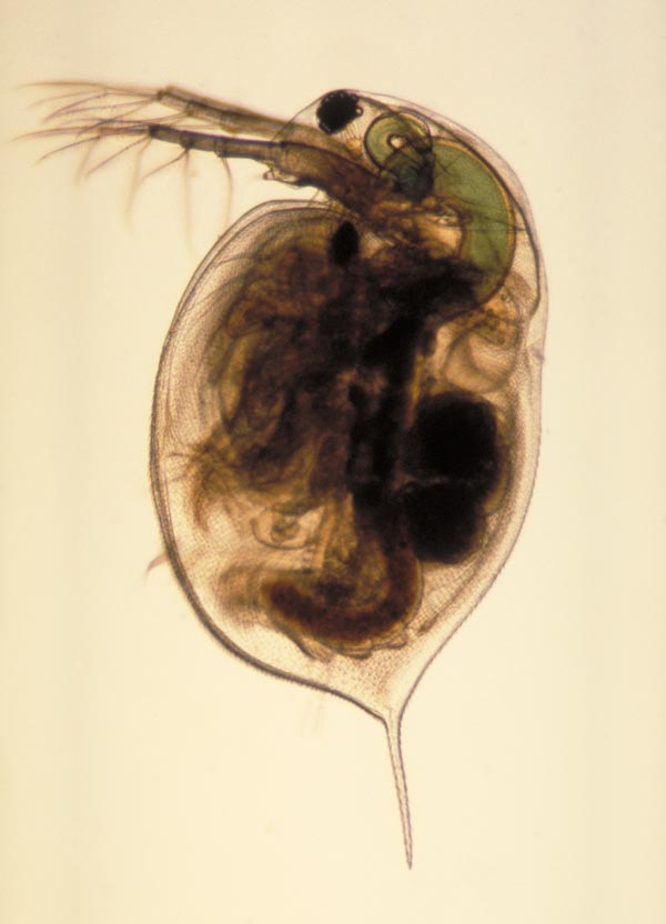 Daphnia-Public Library of Science; PLoS Biol 3(7):e253.doi:10.1371/journal.pbio.0030253.g001