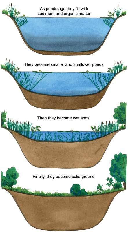Pond succession, four stages, an image in Texas Aquatic Science by author Rudolph Rosen