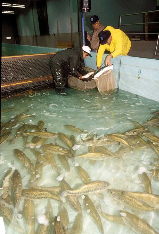 Fish hatchery biologist and technician in a hatchery raceway catching fish in a net, an image from Working and Careers in Water and Aquatic Science from the book Texas Aquatic Science by author Rudolph Rosen. Photo credit: Texas Parks and Wildlife Department.