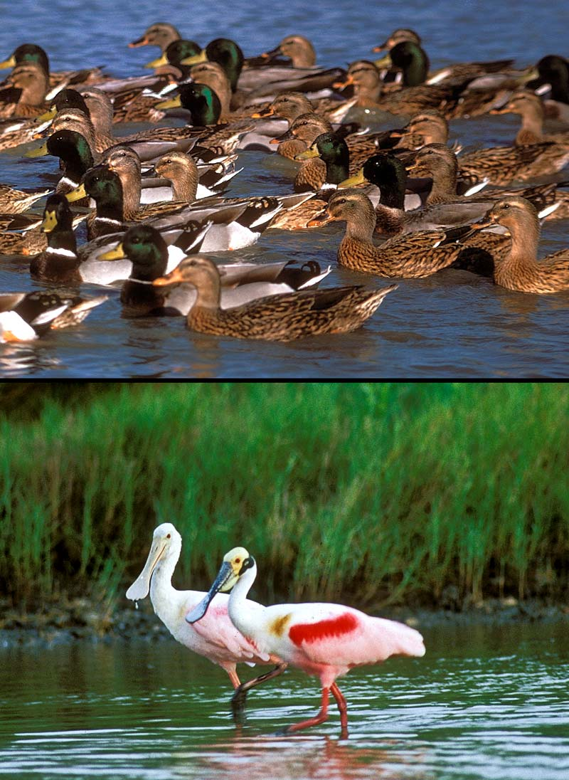 Mallards and roseate spoonbills, an image in Texas Aquatic Science by author Rudolph Rosen