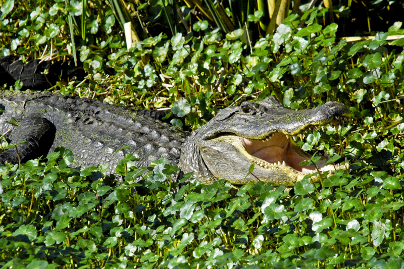 American alligator, an image in Texas Aquatic Science by author Rudolph Rosen