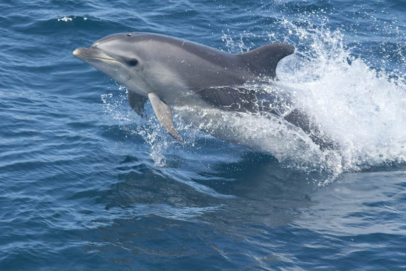 Bottlenose dolphin, an image in Texas Aquatic Science by author Rudolph Rosen
