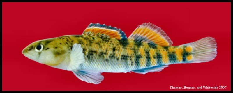 Orangethroat darter, an image in Texas Aquatic Science by author Rudolph Rosen