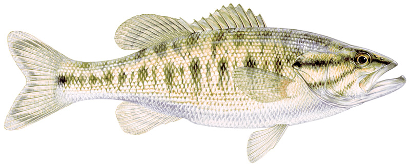 Guadalupe bass, an image in Texas Aquatic Science by author Rudolph Rosen