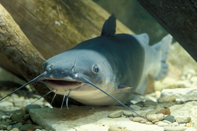 Blue catfish, an image in Texas Aquatic Science by author Rudolph Rosen