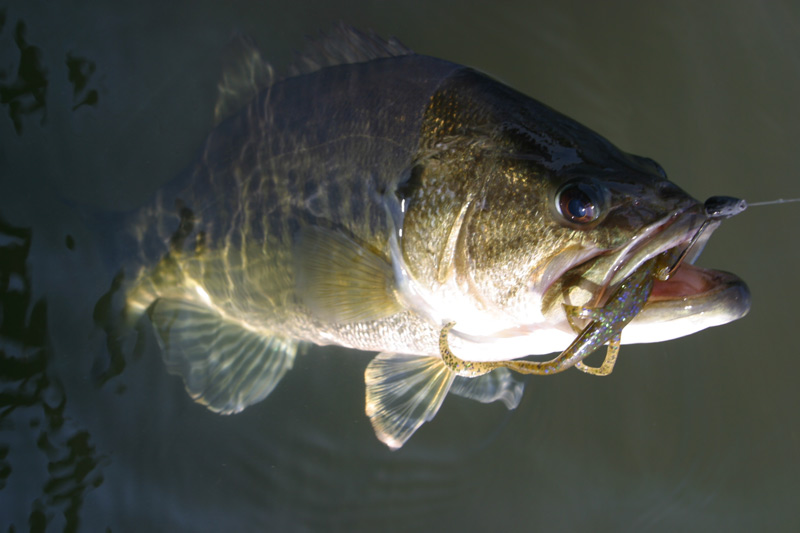 Largemouth bass in Texas, an image in Texas Aquatic Science by author Rudolph Rosen