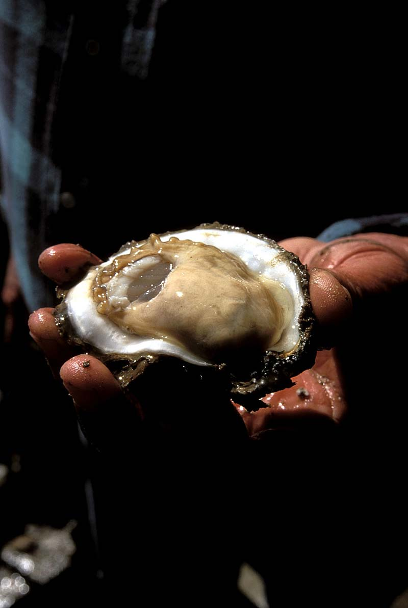 Oyster in Texas, an image in Texas Aquatic Science by author Rudolph Rosen.