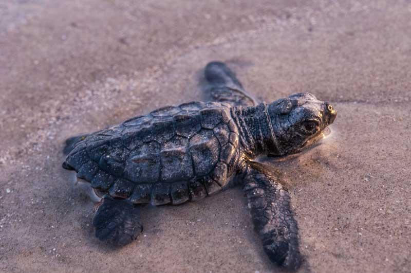 Kemp's ridley sea turtle hatchling, an image in Texas Aquatic Science by author Rudolph Rosen