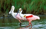 Roseate spoonbills, an image in Texas Aquatic Science by author Rudolph Rosen