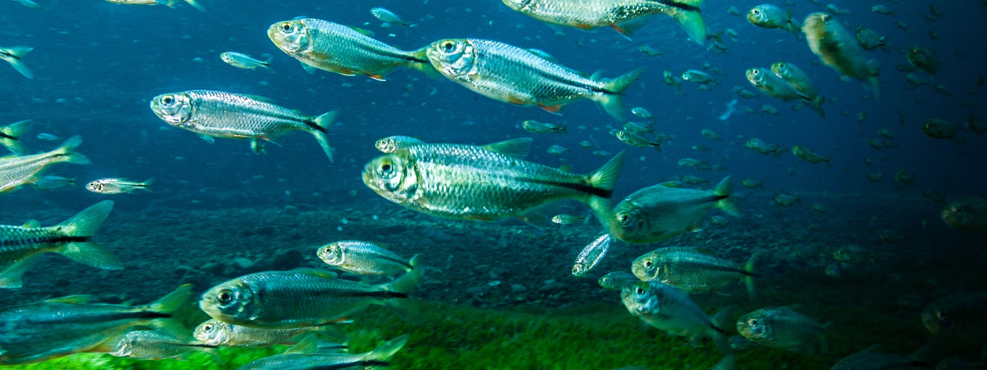 Mexican tetras from the book Texas Aquatic Science by Rudolph Rosen. Photo credit: Jennifer Idol, The Underwater Designer